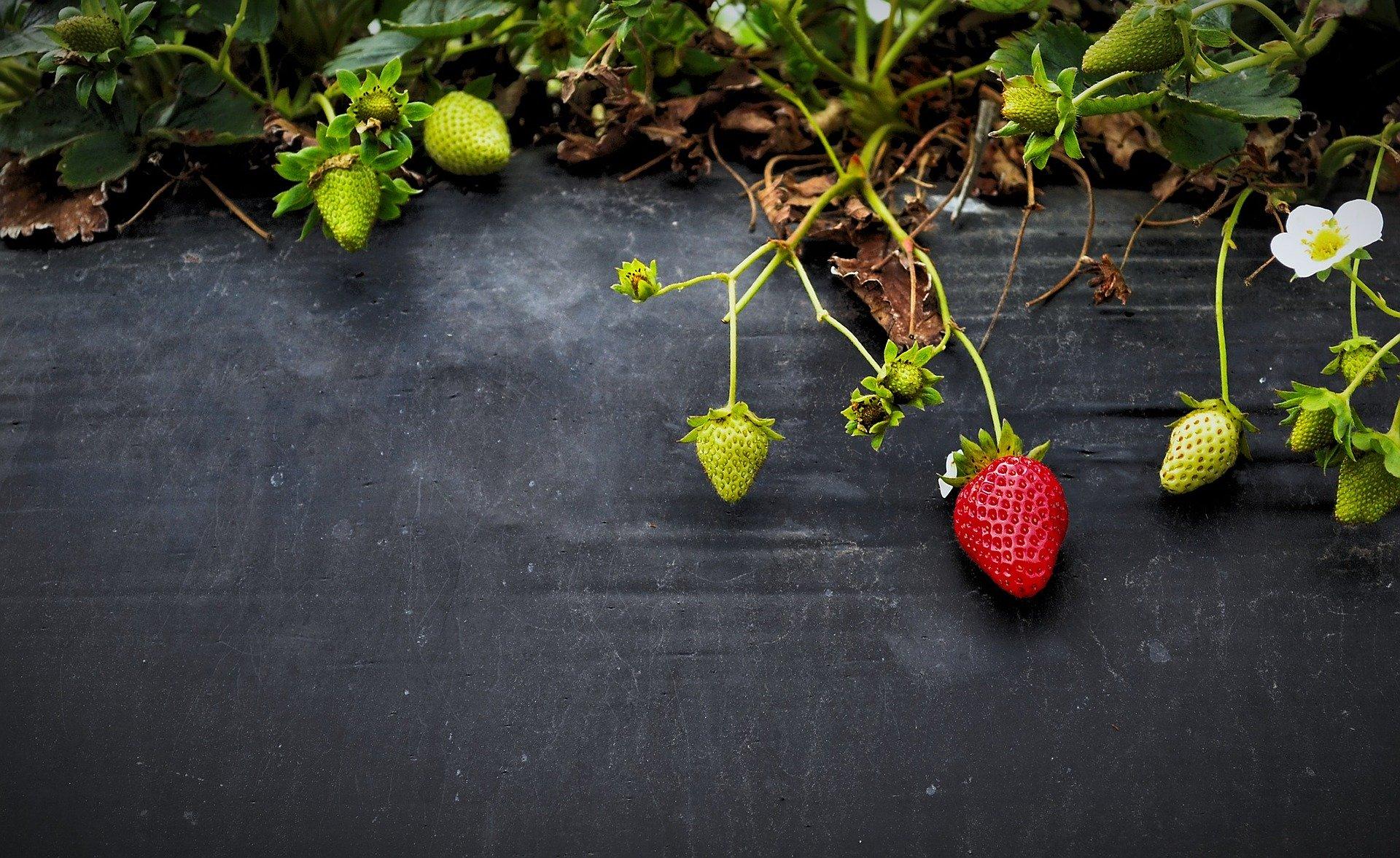 How to Make a Strawberry Barrel